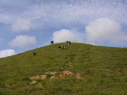 """""""CATTLE ON A THOUSAND HILLS"""""""